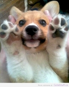 corgi_wants_a_high_five